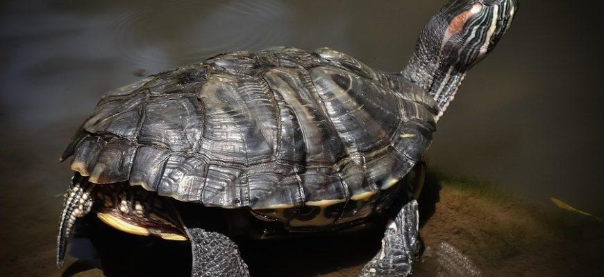 Правила кормления сухопутных и водных черепах - Черепахи.ру - все ... | 400x870